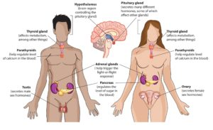 Diagram For Endocrine System Endocrine System Diagram: Explore The Anatomy Of The Endocrine - Human Anatomy Library